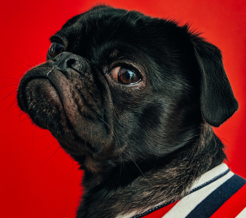 A black pug looking into the camera with a modest expression wearing a navy, white and red striped shirt upon a red background.