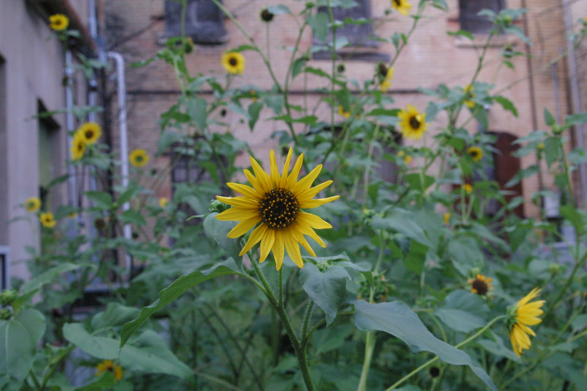 Patch of Sunflowers from seguin, representing spring
