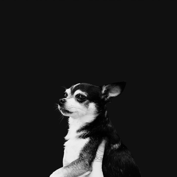 A black and white picture of a chihuahua.