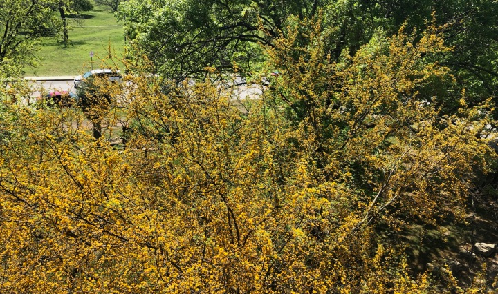 A yellow flowering huisache tree taken below a balcony.