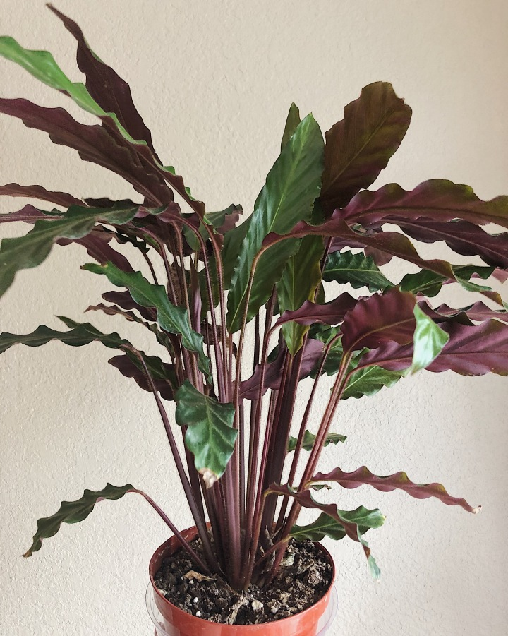 The furry feather calathea is a dual-toned foliage plant, meaning the upside of the leaves are green and the undersides are purple. It makes the plant stand out in any room.