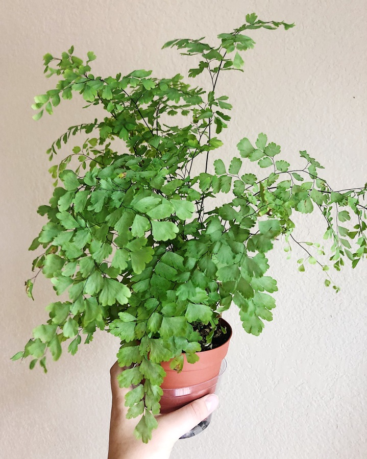 A maidenhair fern has extremely dainty fronds and light green leaves that look as if they are floating on the thin stems.