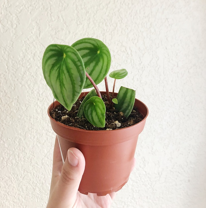 The watermelon peperomia has round, light and dark green striped leaves that sit on skinny red-brown stalks.