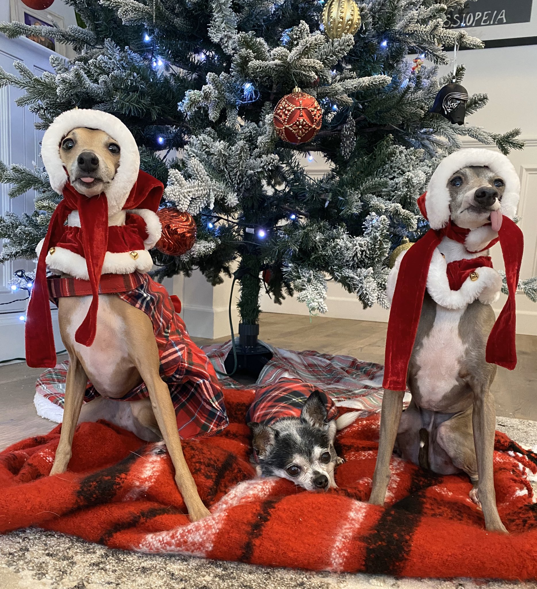 Two Italian greyhounds and a chihuahua in Christmas clothing in front of a Christmas tree.