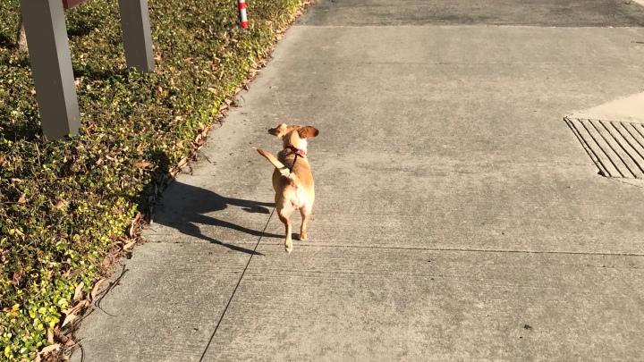 Image of blonde ChiWeenie dog on leash walking on sidewalk.