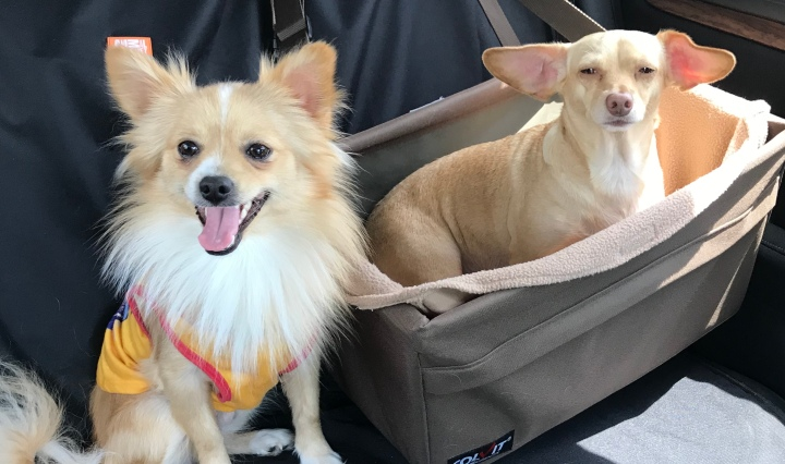 Image of two blonde dogs, one Pomeranian wearing a t-shirt and one ChiWeenie in a carseat.